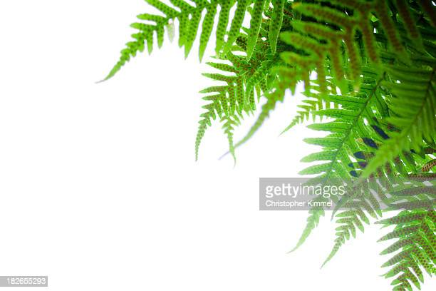 sword fern - fern stock pictures, royalty-free photos & images
