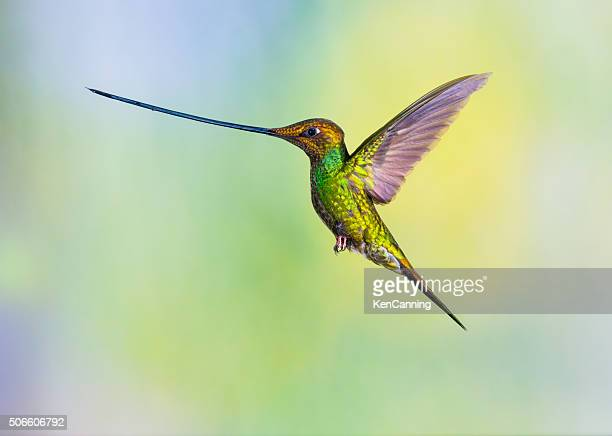 sword-billed hummingbird - snavel stockfoto's en -beelden