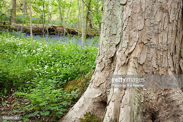 Sycamore bark in a spring woodland