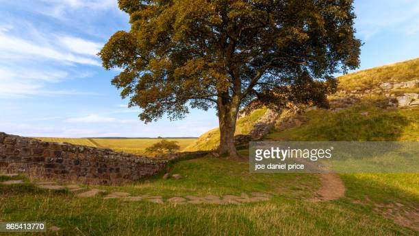sycamore gap, hadrian's wall, henshaw, northumberland, england - sycamore tree stock photos and pictures