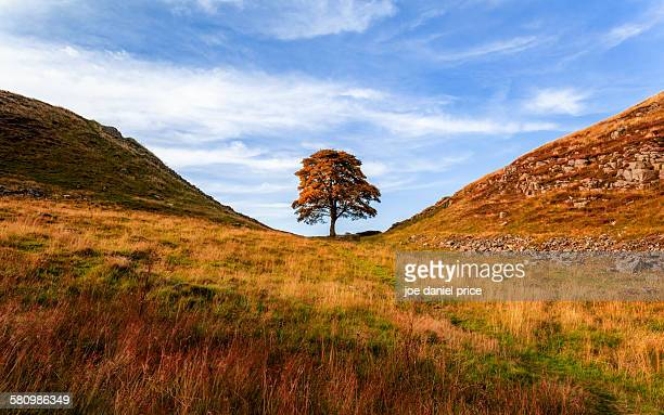 sycamore gap, hexham, northumberland, england - northumberland stock pictures, royalty-free photos & images