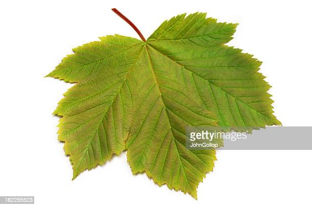 sycamore leaf - sycamore tree stock photos and pictures