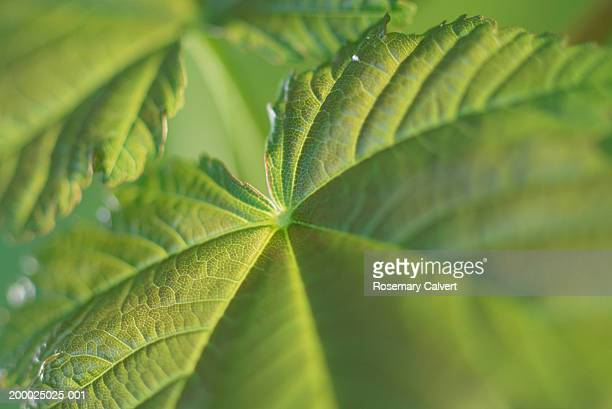 Sycamore leaves (Acer pseudoplatanus), close-up