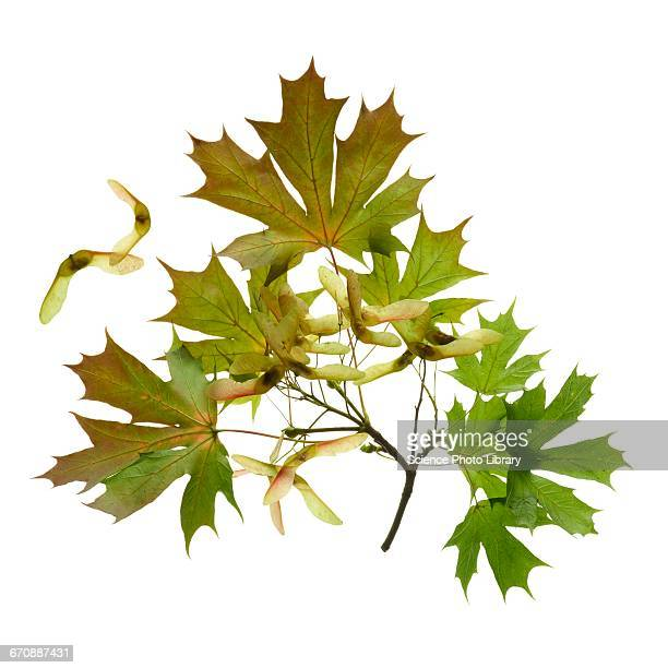 sycamore leaves - sycamore tree stock photos and pictures