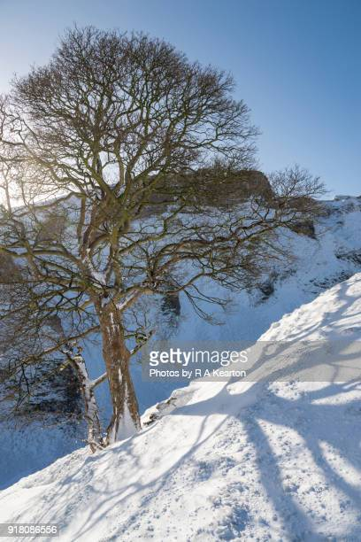 Sycamore on a snowy hillside in the Peak District, Derbyshire, England