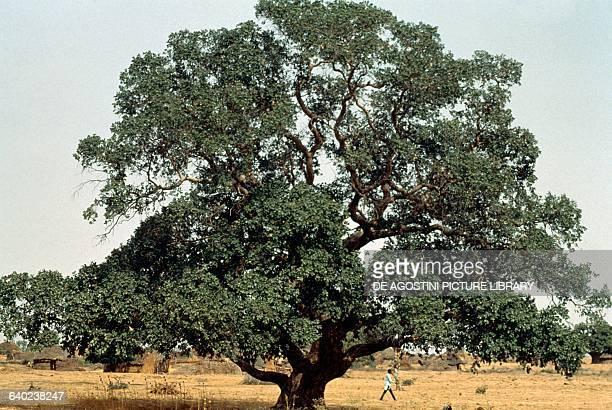Sycamore or Sycamore maple Aceraceae Nigeria