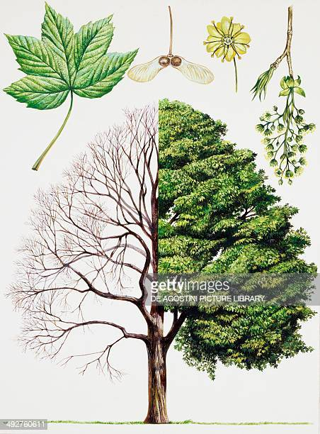 Sycamore or Sycamore maple Aceraceae tree with and without foliage leaves flowers and fruits illustration