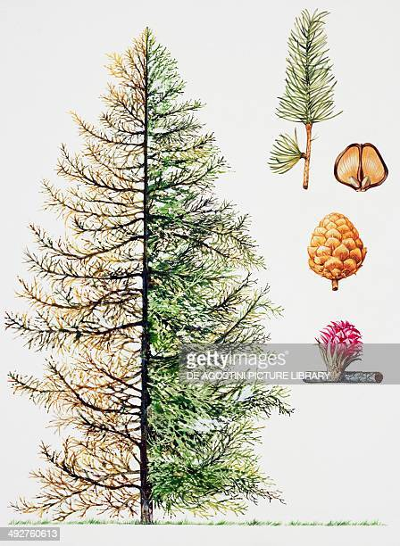 Sycamore or Sycamore maple Pinaceae tree with and without foliage leaves flowers and fruits illustration