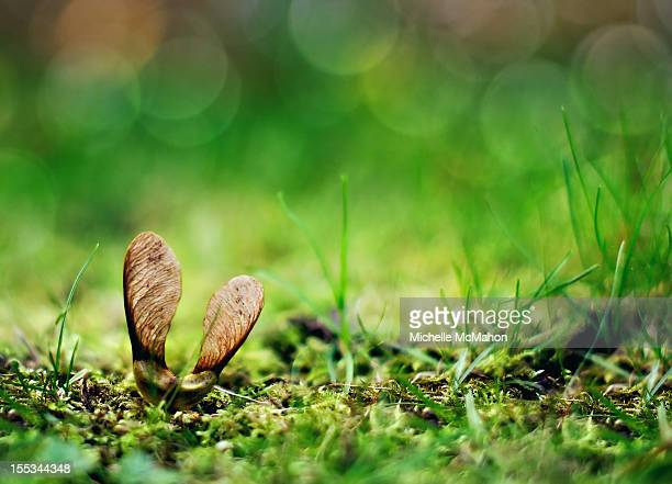 sycamore seed - sycamore tree stock photos and pictures