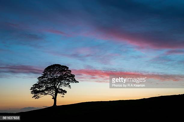 A Sycamore silhouette at dusk