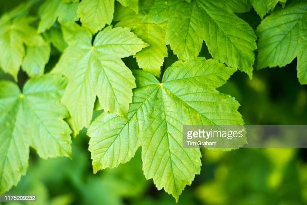 Sycamore tree Acer pseudoplatanus broadleaf deciduous leaves in late spring early summer in the Gloucestershire Cotswolds United Kingdom