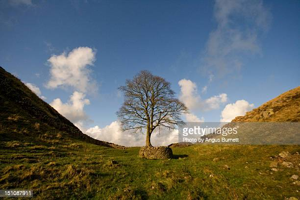 Sycamore tree and Hadrian's wall