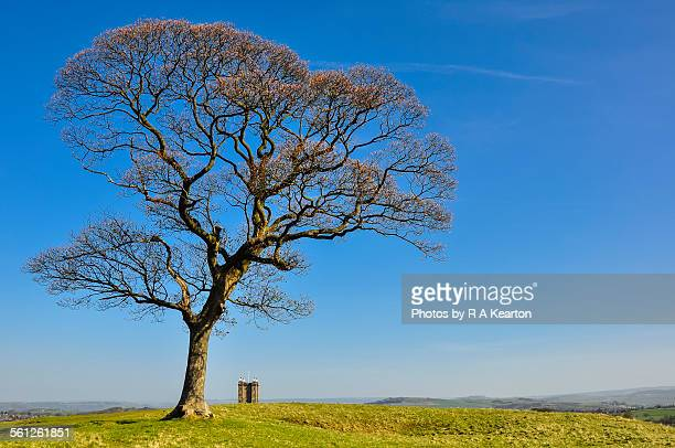 sycamore tree and the cage, lyme park, cheshire - sycamore tree stock photos and pictures