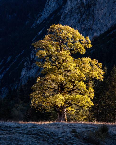 Sycamore tree at Großer Ahornboden Valley