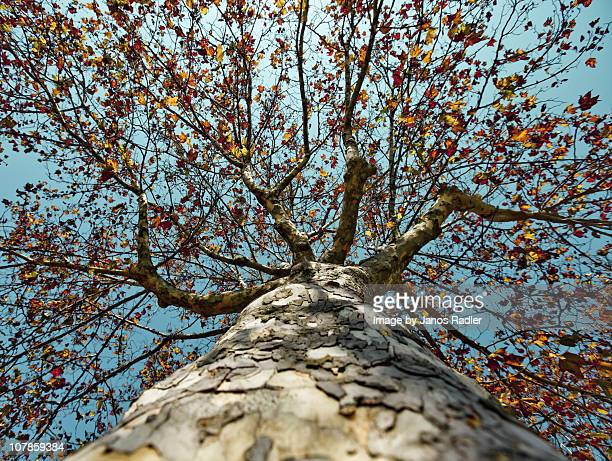 sycamore tree in autumn - sycamore tree stock photos and pictures