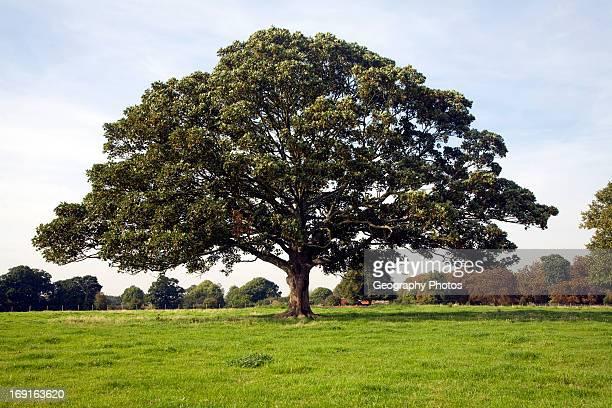 Sycamore tree in grassy field Shottisham Suffolk England