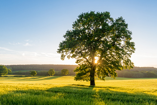 Sycamore Tree in Summer Field at Sunset, England, UK 476116580