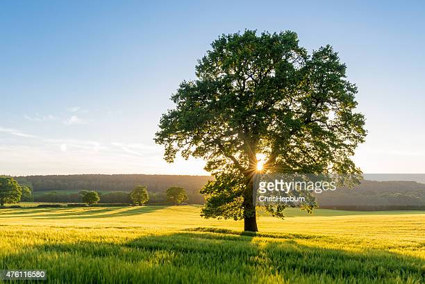 sycamore tree in summer field at sunset, england, uk - maple tree stock pictures, royalty-free photos & images