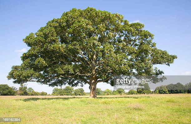 Sycamore tree in summer Woodhall Shottisham Suffolk England