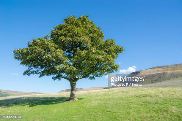 sycamore tree on a bright and sunny day in the hills of england - maple tree stock pictures, royalty-free photos & images