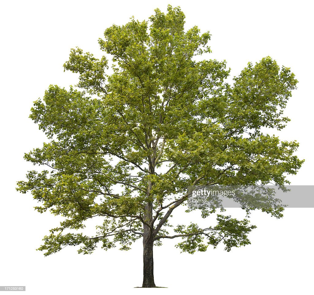Dating a sycamore tree