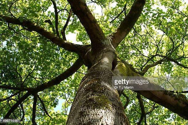 sycamore tree - sycamore tree stock photos and pictures