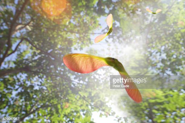 sycamore tree seeds flying through sunny sky - sycamore tree stock photos and pictures