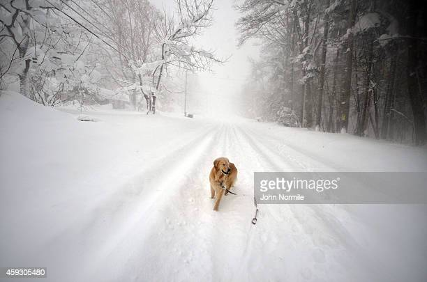 Sydney a six year old Golden retriever makes her way through five feet of snow from a driveway on November 20 2014 in the suburb of Lakeview Buffalo...