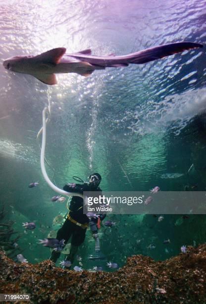 Sydney Aquarium diver uses a vacuum to clean the gravel in the Great Barrier Reef tank as a Leopard Shark swims by September 26 2006 in Sydney...