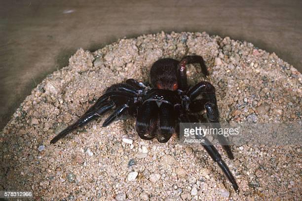 Sydney funnelweb spider Atrax robustus captive female used for milking Macquarie University Sydney New South Wales Australia