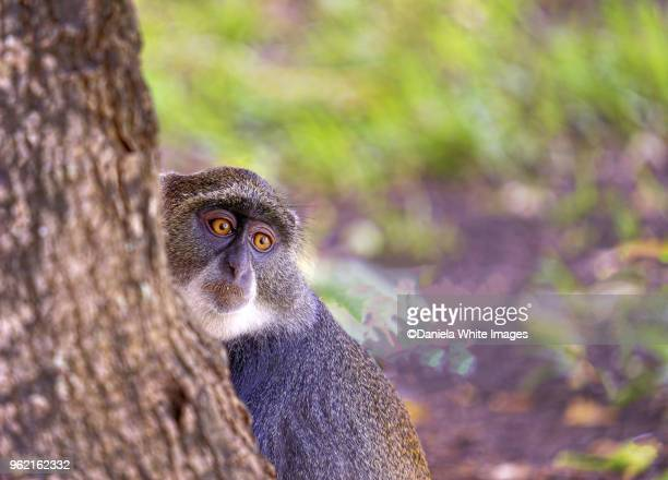 sykes monkey - mombasa stock photos and pictures