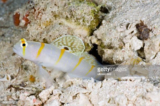 Symbiotic between Randalls PrawnGoby and Pistol Shrimp Amblyeleotris randalli Alpheus rapicida Turtle Cove Micronesia Palau