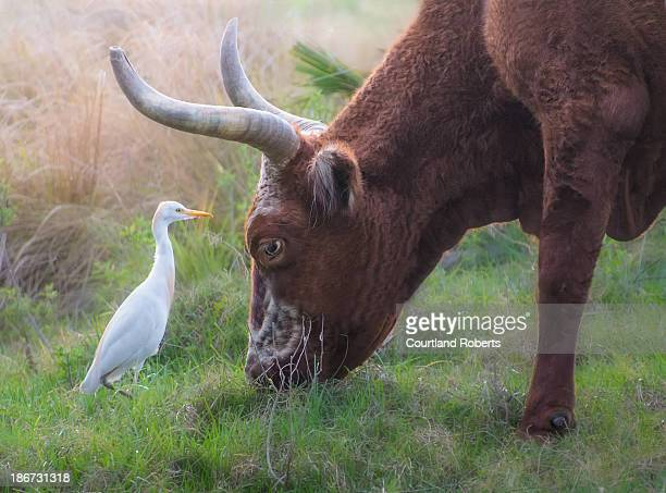 CONTENT] A symbiotic relationship between a cow and an a cattle egret in Florida