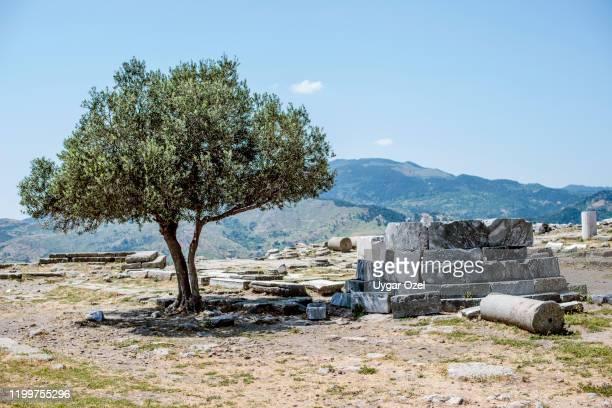symbol of a culture; olive tree and ancient pergamon ruins. bergama, izmir-turkey - ベルガマ ストックフォトと画像