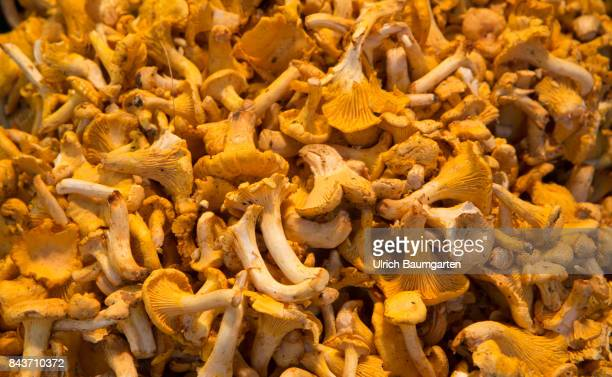 Symbol photo on the topic vegetables mushrooms nutrition health food scandal etc The photo shows chanterelles