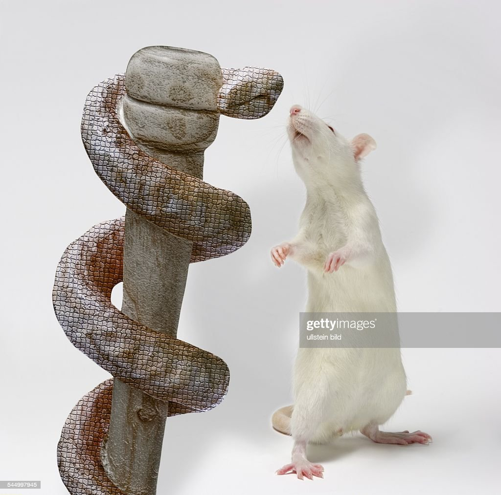Animal symbolism rat the best rat of 2018 symbolic meaning of rats opossum symbolism a message spirit animal totems biocorpaavc Image collections