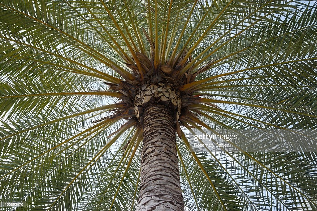 Symmetrical pattern created by date palm fronds. : Stock Photo