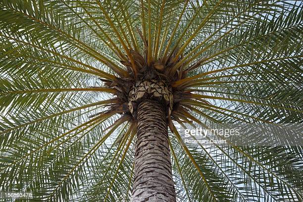 symmetrical pattern created by date palm fronds. - date palm tree stock pictures, royalty-free photos & images