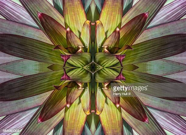 symmetrical pattern of radiating bromeliad fronds, mandalagraph - bromeliad ストックフォトと画像