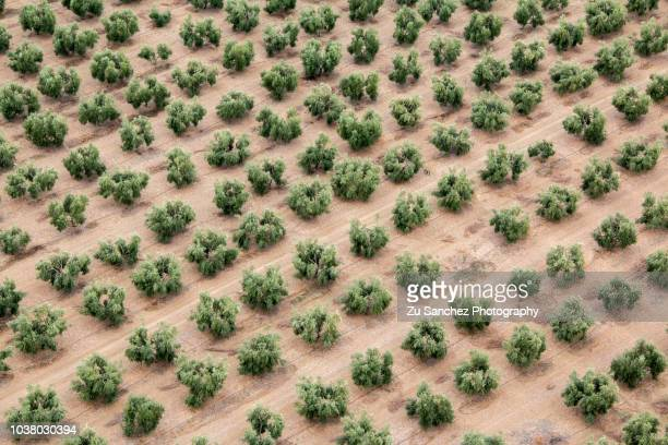 symmetry of olive trees - olive orchard stock photos and pictures