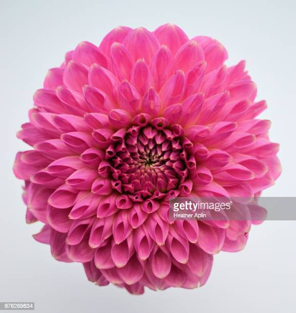symmetry - chrysanthemum fotografías e imágenes de stock