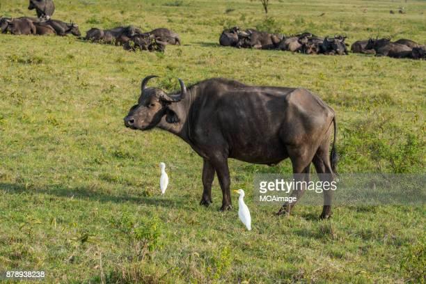 Syncerus caffer in savanna