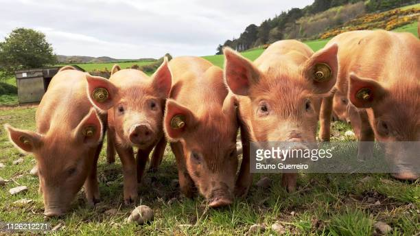 synchronised piglets in a row - herbivorous stock pictures, royalty-free photos & images