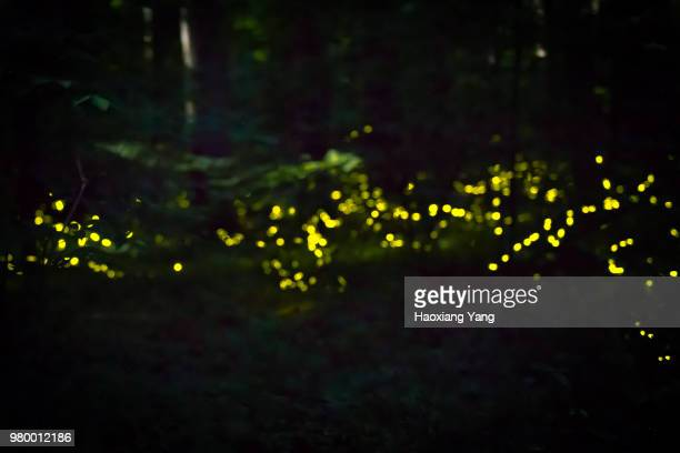 synchronous fireflies - fireflies stock pictures, royalty-free photos & images