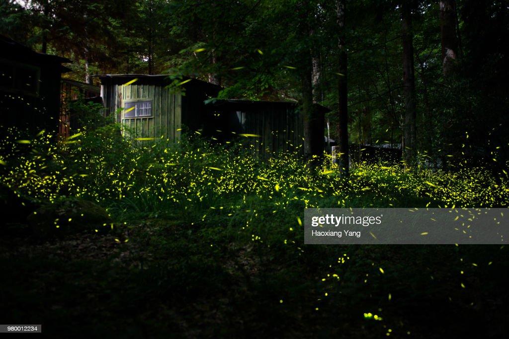 Synchronous Fireflies : Stock Photo