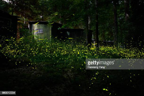 synchronous fireflies - firefly stock pictures, royalty-free photos & images