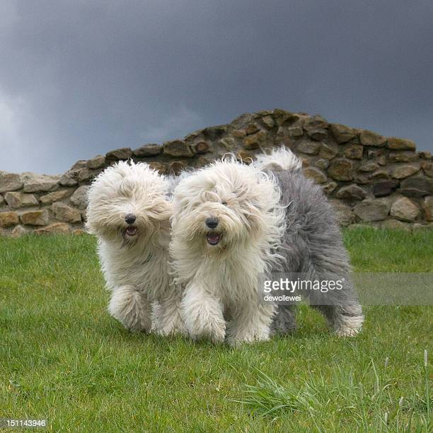 synchronyzed - old english sheepdog stock pictures, royalty-free photos & images