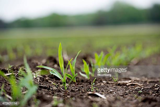 Syngenta AG Golden Harvest brand hybrid seed corn seedlings grow in a field in Princeton Illinois US on Friday May 8 2015 Syngenta AG the world's...