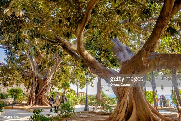 syracuse, ortygia island (sicily, italy) - fig tree stock pictures, royalty-free photos & images