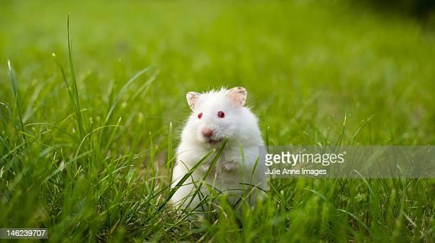 Syrian albino hamster